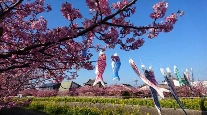免々田川の菜の花
